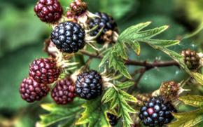 blackberry, shrubs, Berries