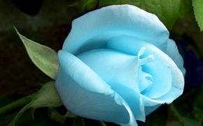 Rose, Blau, Nun, vielleicht alle