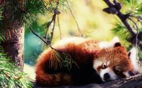 red panda, pi, wystroi, zwierz, adny