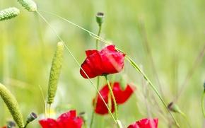 fiori, scarlatto, spighette, Papaveri