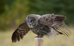 Owl, bird, column, wings