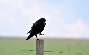 barbed, bird, column, black, raven, Wire