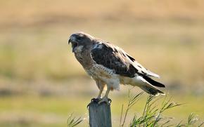 Hawk, bird, stump, column, grass, sunny