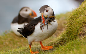coast, Birds, deadlocks, pair, grass, lunch, small fish