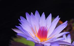 Blu, Loto, fiore, sfondo
