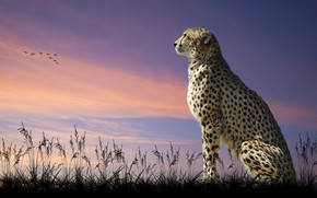 cheetah, sunset, savannah