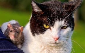 gatto, ratto, coppia