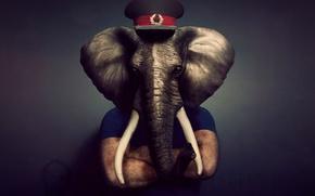 слон, фуражка, хобот, бивни