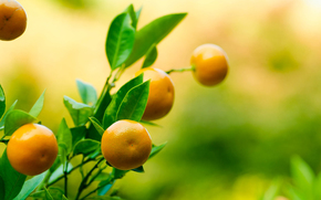 mandarin, fruct, Mandarin, ramur, frunzi