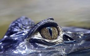 Krokodil, Auge, Natur