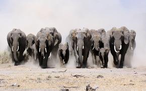 Elefanti, natura, ordine