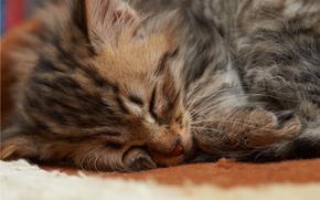 sleeps, fur, kitten, snout, cat, small, sleep