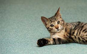 gato, listrado, Kote, andar, gatinho
