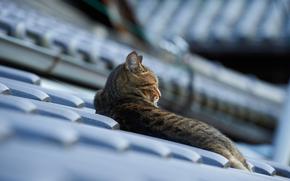 roof, cat, cat, Lying, tile