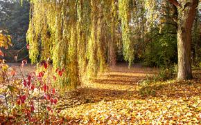 autunno, parco, alberi, albero, salice, fogliame, Caduto