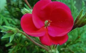 цветок, стебель, бутоны