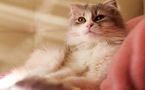 лежит, кот, кошка, ткань