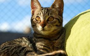 Kote, gato, recreao, sol, Deitado