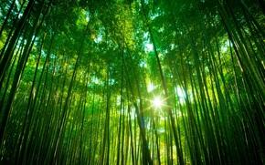 bamb, Foresta di bamb, sole