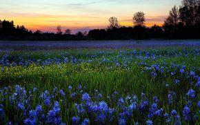 champ, Fleurs, soire