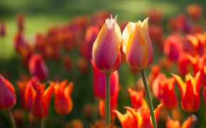 spring, Tulips, Two, Flowers