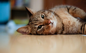 gato, andar, focinho, Deitado, Kote
