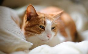 кот, кошка, постель, морда, засыпает, спит
