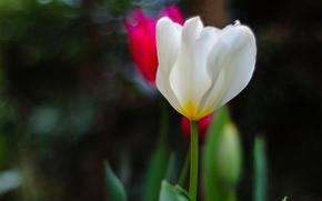 фокус, цикламен, белый, розовый, цветы, зелень