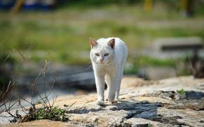 erba, pietre, gatto, passeggiare, gatto, bianco, strada