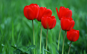 Flowers, Tulips, green background