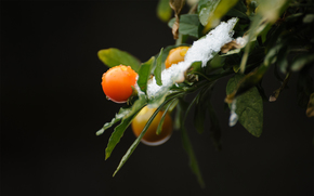 background, branch, snow, leaves, Berries