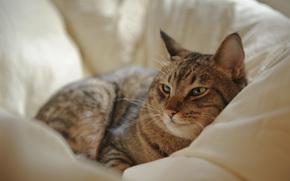 отдых, кот, лежа, постель, кошка