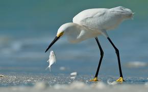 sabbia, bianco, airone, uccello, pesce, prendere