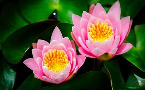 giglio di acqua, fiori, fogliame, loto, rosa