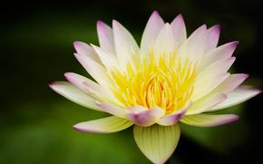 giglio di acqua, giallo, loto, fiore, giglio di acqua