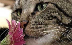 gato, olfateando, flor