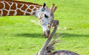 друзья, страус, жираф