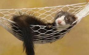 Ferret, sleeps, in the hammock