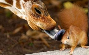 друзья, белка, жираф