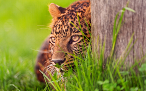 leopard, ambush, grass