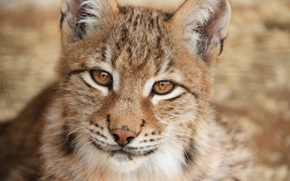 lince, wildcat, predatore, grugno, close-up