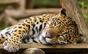 giaguaro, wildcat, sogno