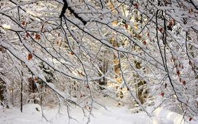 ветки, снег, деревья, лес, листья, зима, природа