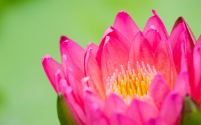 водяная лилия, лотос, розовый, бутон, цветок