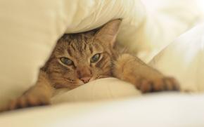 морда, лапы, постель, кот