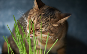 food, cat, greens, grass