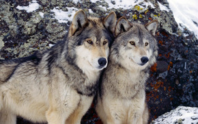couple, Wolves, winter