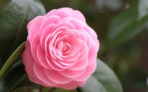 листья, Камелия, розовый, цветок, макро, лепестки