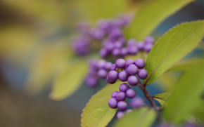 Berries, bush, leaves, purple, Kallikarpa