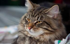 gatto, sguardo divertito, Siberiano